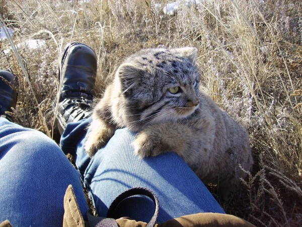 pallas-cat-rescue-russia-8